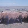 Hayvancılık, Bingöl, 1978
