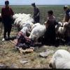 Hayvancılık, Diyarbakır