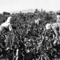 Üzüm'ün işlenmesi, 1952