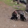 Köpek ve yavruları
