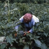 Çanakkale'de Meyvecilik