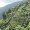 Çay Tarlaları, Karadeniz