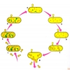 Bakteriyofajın hayat devri