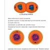Hücre ve Hücre Bölünmesi