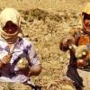 Şekerpancarı tarımı