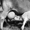 Süt'ün  Sağılması, 1963
