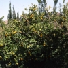 Mandalina