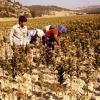 Denizlide Tarım, 1980