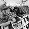 Kuş Cenneti, 1953