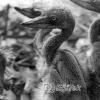 Kuş Cenneti, Balıkçıl Yavruları, 1953