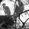 Kaşıkçı Kuşu, 1953