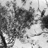 Gri Balıkçıl, 1953