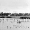 Balıkçıl Kuşları , 1953