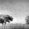 Kaşıkçı Kuşları, 1953