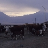 Besi Çiftliğinde İnekler