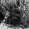 Ankara Pirinç tarlası
