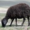 Erzurum, Hayvancılık, 2006