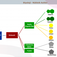Nükleik Asitler - 2