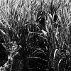 Ankara Pirinç tarlaları