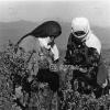 Erzurum, Pasinler, Nohut Tarımı, 1976
