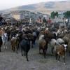 Sığır sürüsü
