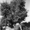 Hatay, Defne Ağaçları, 1973