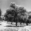 Hatay, Altınözü, Zeytin Ağaçları, 1973