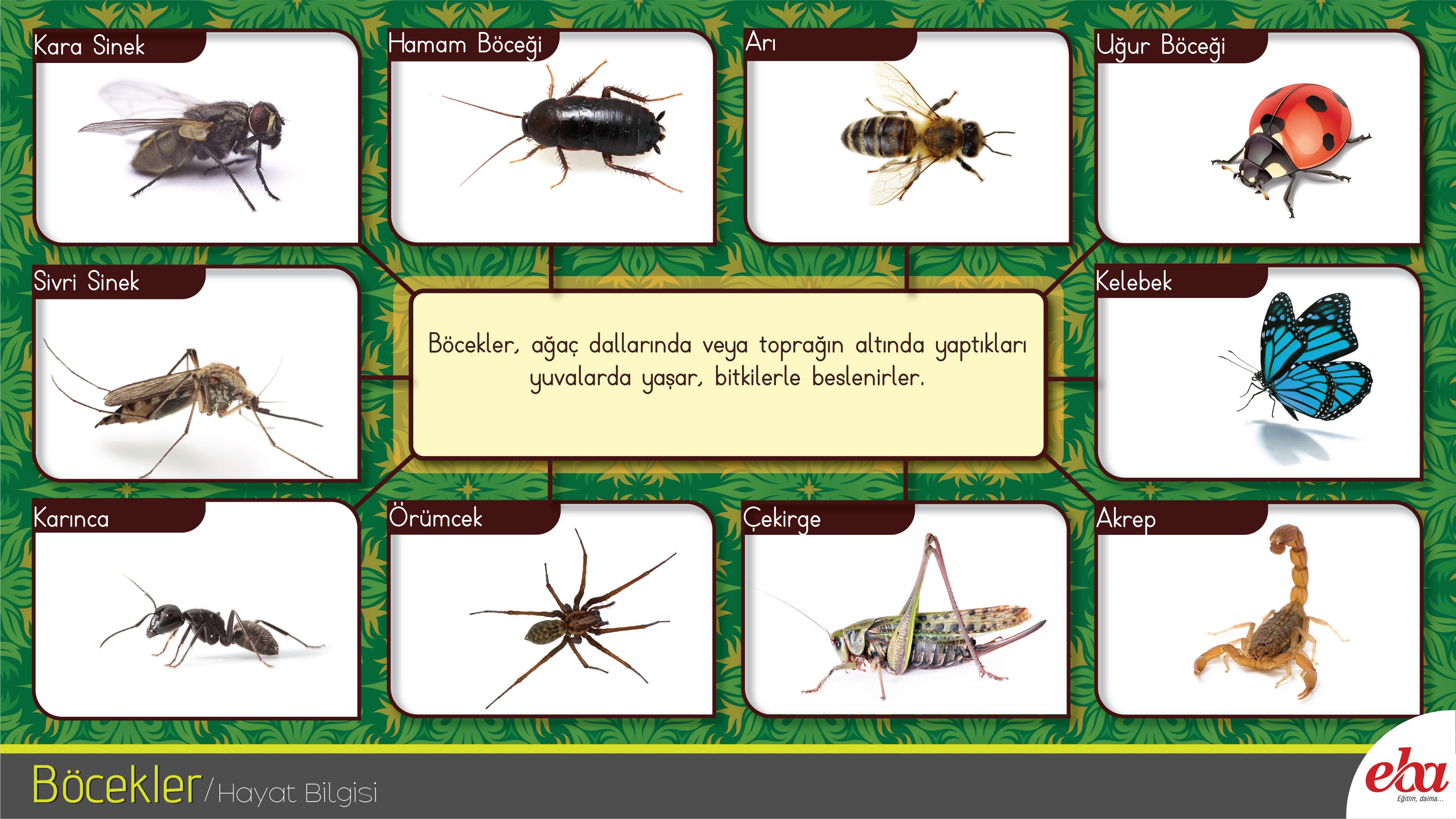 Dairede büyük hamamböceği var. Ne yapayım
