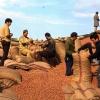 Fındıkları çuvallayan işçiler