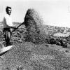 Yozgat, Ayçiçeği Harmanı, 1971