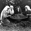 Fındığın ayıklanması, 1952