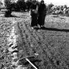 Fındığın kurutulup, karıştırılması, 1952