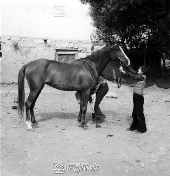 Ağrı Safkan Arap Atı