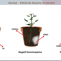 Bitkilerde Hareket ve Büyüme - 2