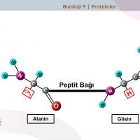 Proteinler - B