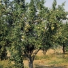 Armut Ağacı