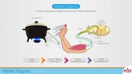 İnsan vücudunda refleks oluşumu ve aşamalarının anlatıldığı infografik çalışması