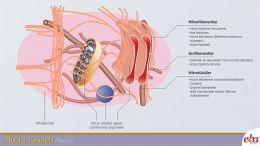 Hücre iskeleti yapı elemanları ve görevleri anlatılmaktadır.