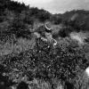 Çay'ın yetiştirilmesi, 1952