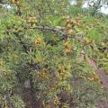 Ahlat (Pyrus Elaeagrifolia)