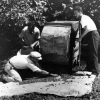 Fındığın makinede ayıklanması , 1952