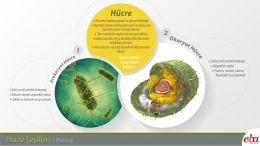 Hücre çeşitlerinden prokaryot ve ökaryot hücre tipi açıklanmaktadır.