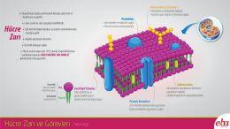 Hücre zarının yapısı ve görevleri anlatılmaktadır.