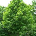 Akçaağaç (Acer)