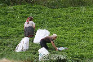 Çay İşletmesi