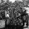 Fındık toplama, 1952