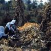 Mısır tarlasında çalışan kadınlar