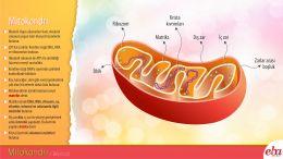 Mitokondri organelinin yapısı ve görevleri anlatılmaktadır.