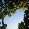 Üzüm Bağı