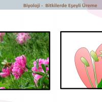 Bitkilerde Eşeyli Üreme - 2